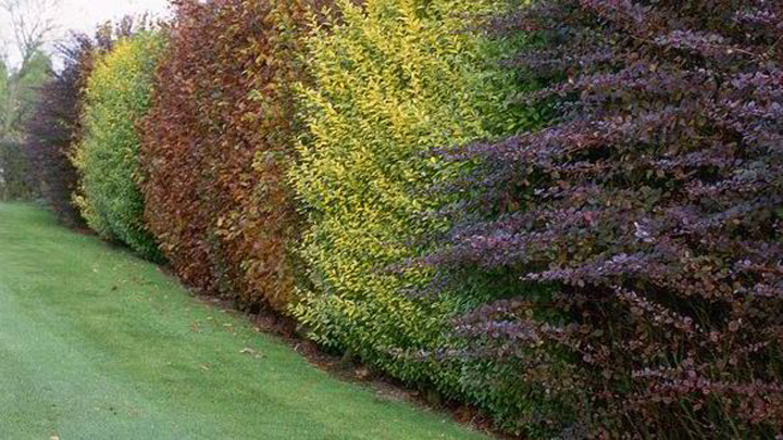 hedges Landscape Design  - Common Types Of Hedges